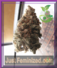 Feminized Seeds Co Super Iced Grapefruit 5 Seeds